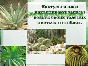 Кактусы и алоэ накапливают запасы воды в своих толстых листьях и стеблях.
