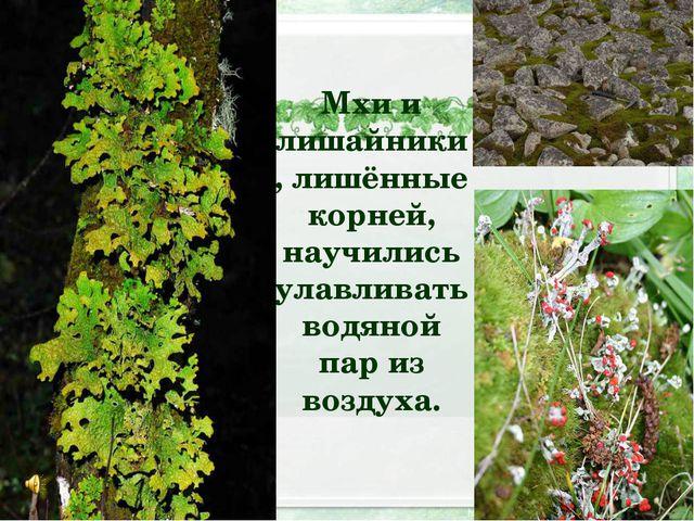Мхи и лишайники, лишённые корней, научились улавливать водяной пар из воздуха.