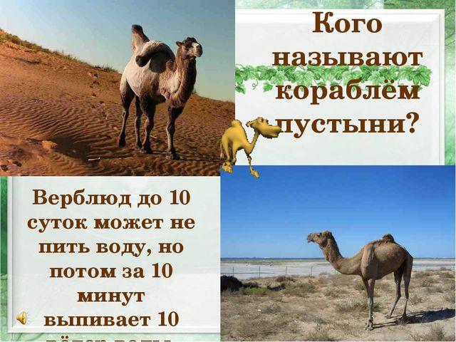 Кого называют кораблём пустыни? Верблюд до 10 суток может не пить воду, но по...