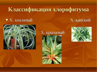 Классификация хлорофитума Х. хохлатый Х. капский Х. крылатый