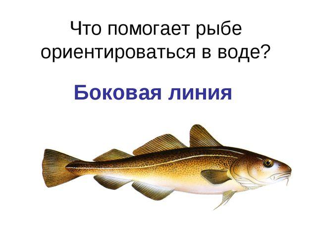Что помогает рыбе ориентироваться в воде? Боковая линия