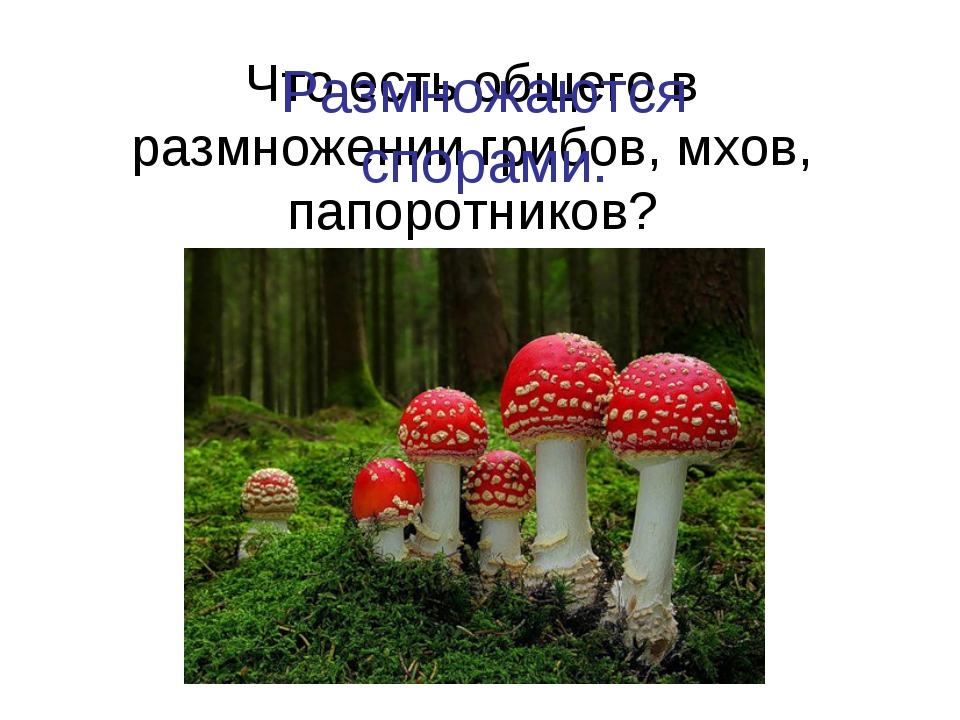 Что есть общего в размножении грибов, мхов, папоротников? Размножаются спорами.