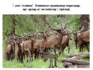 Қазақстанның Баянауыл ауданында маралдар, арқарлар жәнекиіктерөсіріледі.