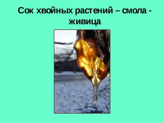 Сок хвойных растений – смола - живица