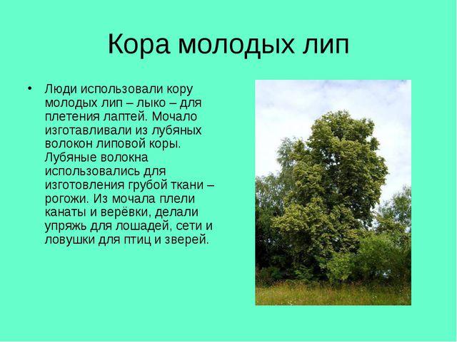 Кора молодых лип Люди использовали кору молодых лип – лыко – для плетения лап...