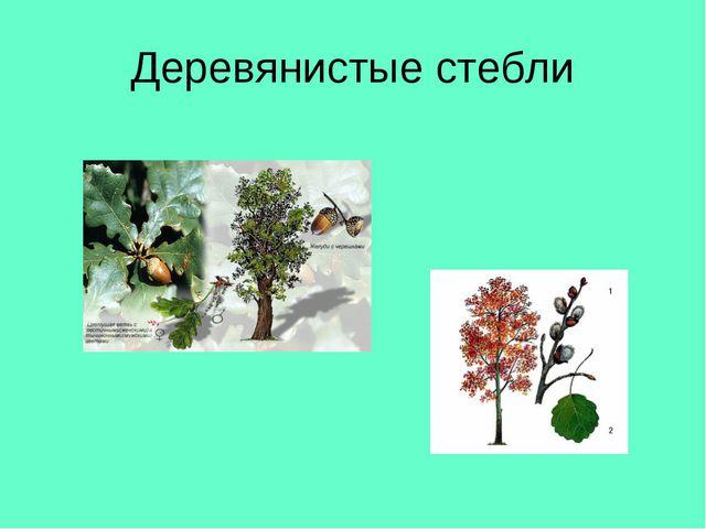 Деревянистые стебли