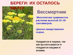 БЕРЕГИ: ИХ ОСТАЛОСЬ МАЛО! Бессмертник Многолетнее травянистое растение высото