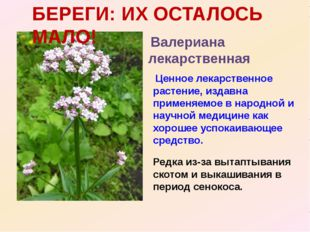 Валериана лекарственная Ценное лекарственное растение, издавна применяемое в