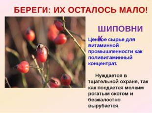 БЕРЕГИ: ИХ ОСТАЛОСЬ МАЛО! ШИПОВНИК Ценное сырье для витаминной промышленности