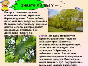 Распространенное дерево пойменных лесов, укрепляет берега водоемов. Очень ги