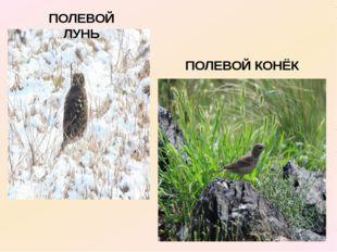 ПОЛЕВОЙ ЛУНЬ ПОЛЕВОЙ КОНЁК