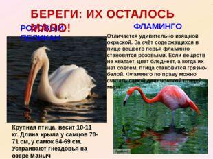 РОЗОВЫЙ ПЕЛИКАН БЕРЕГИ: ИХ ОСТАЛОСЬ МАЛО! ФЛАМИНГО Крупная птица, весит 10-11