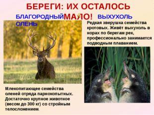 БЛАГОРОДНЫЙ ОЛЕНЬ БЕРЕГИ: ИХ ОСТАЛОСЬ МАЛО! ВЫХУХОЛЬ Млекопитающее семейства