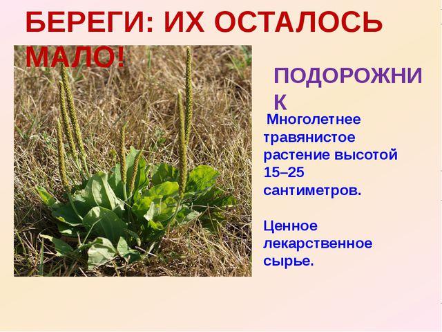 БЕРЕГИ: ИХ ОСТАЛОСЬ МАЛО! ПОДОРОЖНИК Многолетнее травянистое растение высотой...