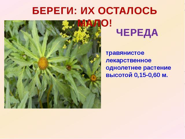 БЕРЕГИ: ИХ ОСТАЛОСЬ МАЛО! ЧЕРЕДА травянистое лекарственное однолетнее растени...
