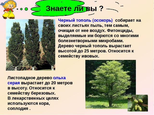 Черный тополь (осокорь) собирает на своих листьях пыль, тем самым, очищая от...