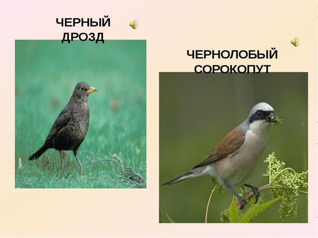 ЧЕРНЫЙ ДРОЗД ЧЕРНОЛОБЫЙ СОРОКОПУТ
