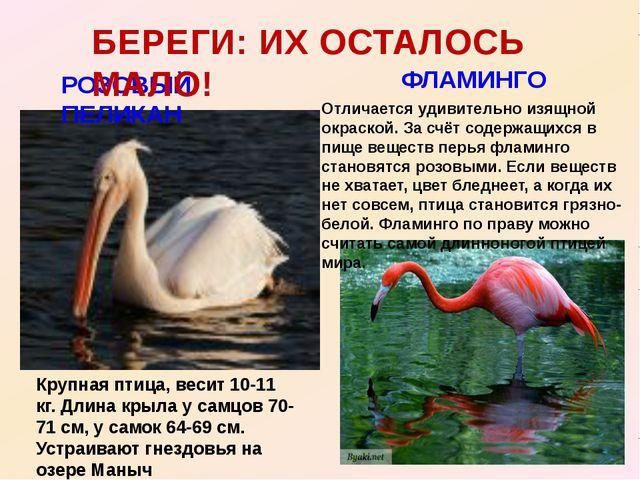 РОЗОВЫЙ ПЕЛИКАН БЕРЕГИ: ИХ ОСТАЛОСЬ МАЛО! ФЛАМИНГО Крупная птица, весит 10-11...