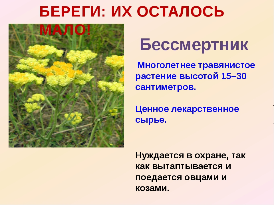 БЕРЕГИ: ИХ ОСТАЛОСЬ МАЛО! Бессмертник Многолетнее травянистое растение высото...