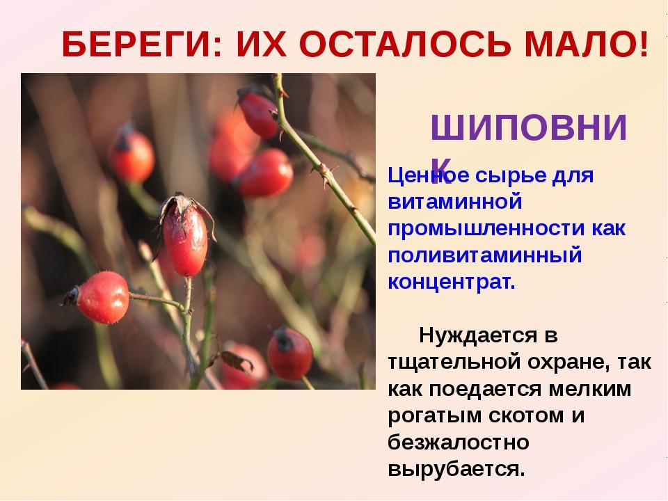 БЕРЕГИ: ИХ ОСТАЛОСЬ МАЛО! ШИПОВНИК Ценное сырье для витаминной промышленности...