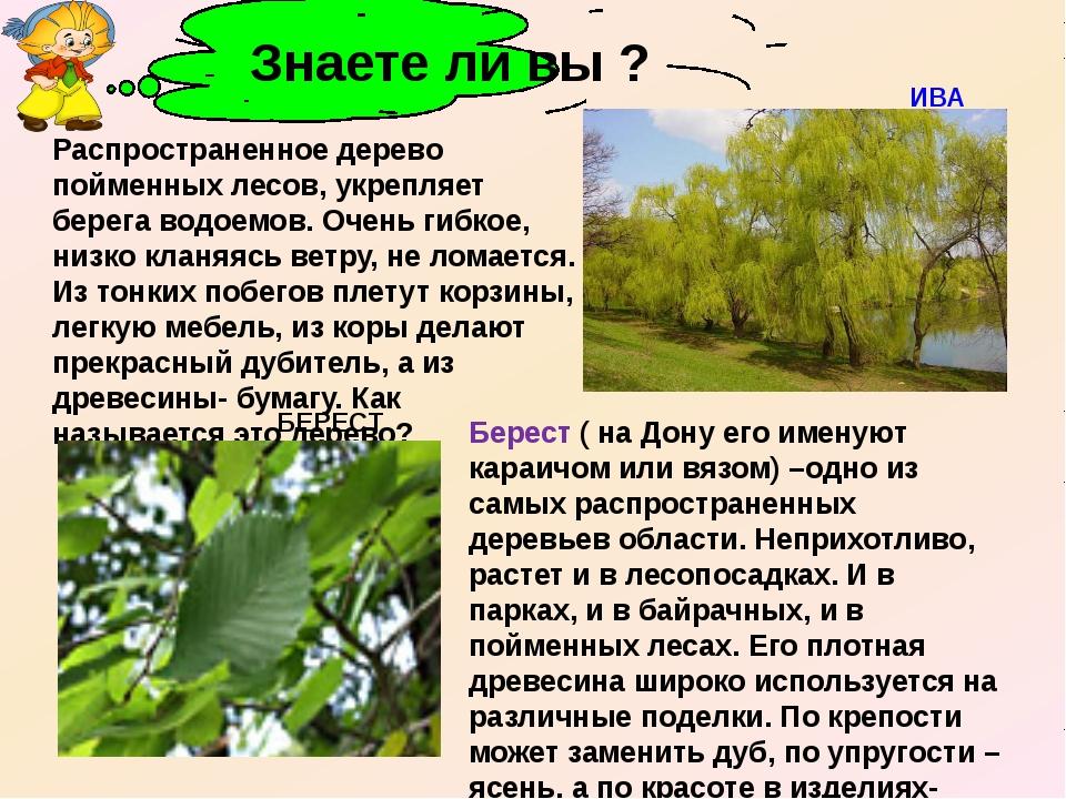 Распространенное дерево пойменных лесов, укрепляет берега водоемов. Очень ги...