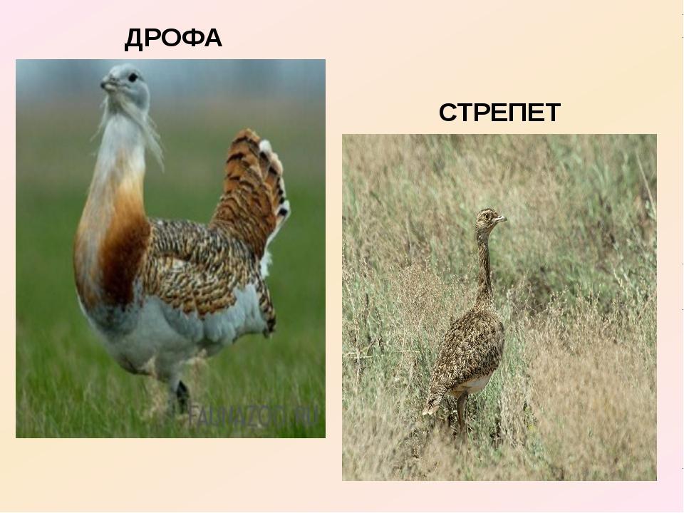 ДРОФА СТРЕПЕТ