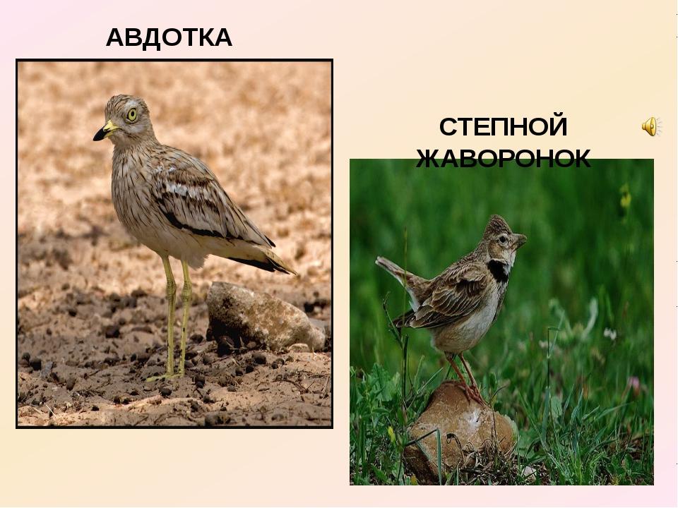 АВДОТКА СТЕПНОЙ ЖАВОРОНОК