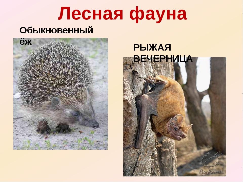 Лесная фауна Обыкновенный ёж РЫЖАЯ ВЕЧЕРНИЦА