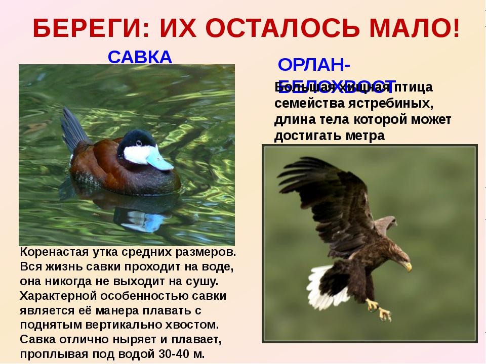 САВКА БЕРЕГИ: ИХ ОСТАЛОСЬ МАЛО! ОРЛАН- БЕЛОХВОСТ Большая хищная птица семейст...