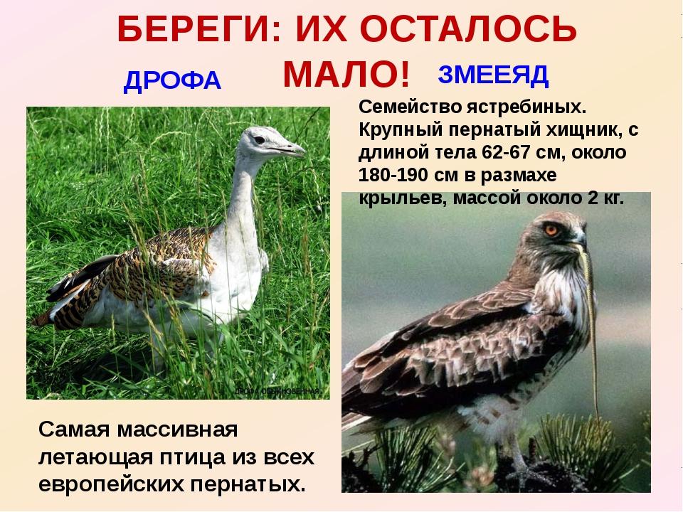 БЕРЕГИ: ИХ ОСТАЛОСЬ МАЛО! ДРОФА ЗМЕЕЯД Самая массивная летающая птица из всех...