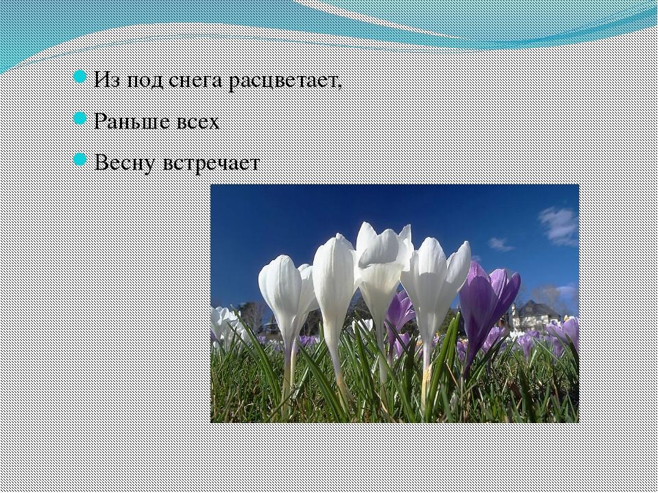 Из под снега расцветает, Раньше всех Весну встречает