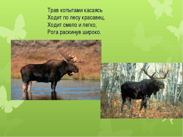 Трав копытами касаясь Ходит по лесу красавец, Ходит смело и легко, Рога раски...