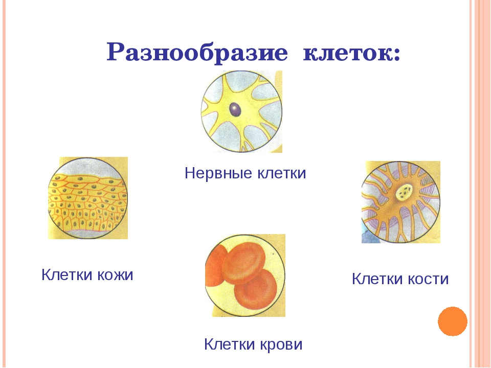 Разнообразие клеток: Нервные клетки Клетки крови Клетки кожи Клетки кости