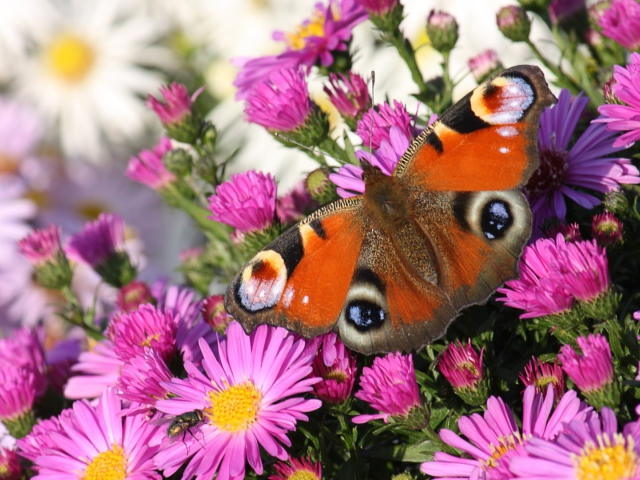http://www.zastavki.com/pictures/640x480/2014/Nature___Flowers_Peacock_butterfly_075455_29.jpg