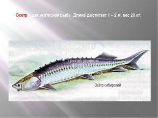 Осетр – деликатесная рыба. Длина достигает 1 – 2 м, вес 20 кг.