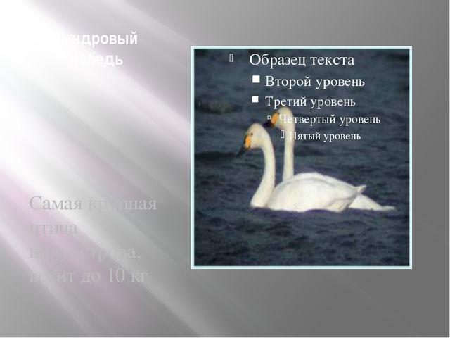 Тундровый лебедь Самая крупная птица полуострова, весит до 10 кг