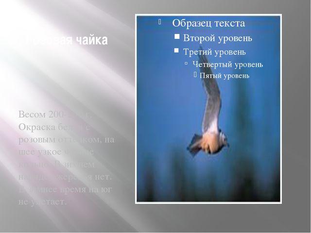Розовая чайка Весом 200-250 г. Окраска белая с розовым оттенком, на шее узкое...