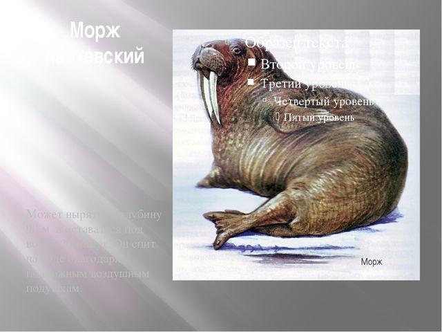 Морж лаптевский Может нырять на глубину 90 м и оставаться под водой 20 минут....
