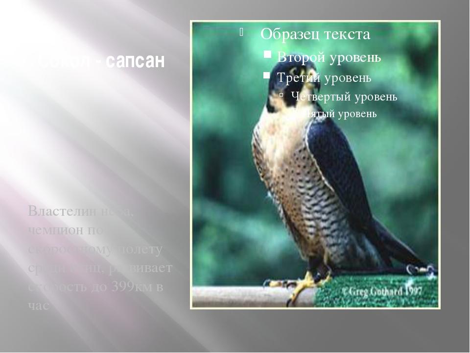 Сокол - сапсан Властелин неба, чемпион по скоростному полету среди птиц, разв...