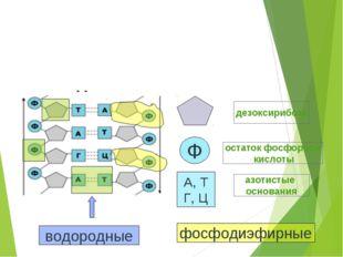 дезоксирибоза Ф остаток фосфорной кислоты А, Т Г, Ц азотистые основания водор