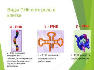 и - РНК и - РНК считывает информацию с участка ДНК о первичной структуре белк