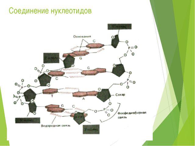 Соединение нуклеотидов