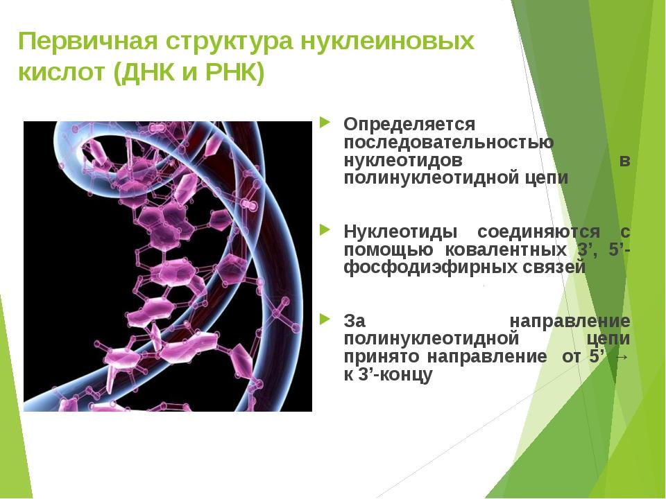 Первичная структура нуклеиновых кислот (ДНК и РНК) Определяется последователь...