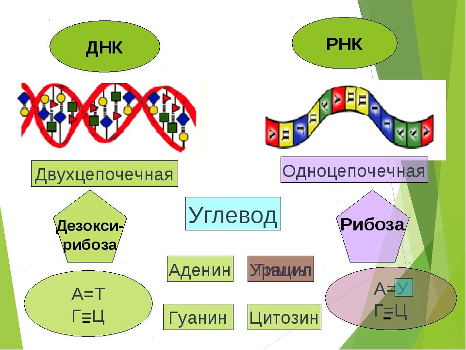 ДНК РНК Двухцепочечная Одноцепочечная Дезокси- рибоза Рибоза Углевод А=Т Г=Ц...