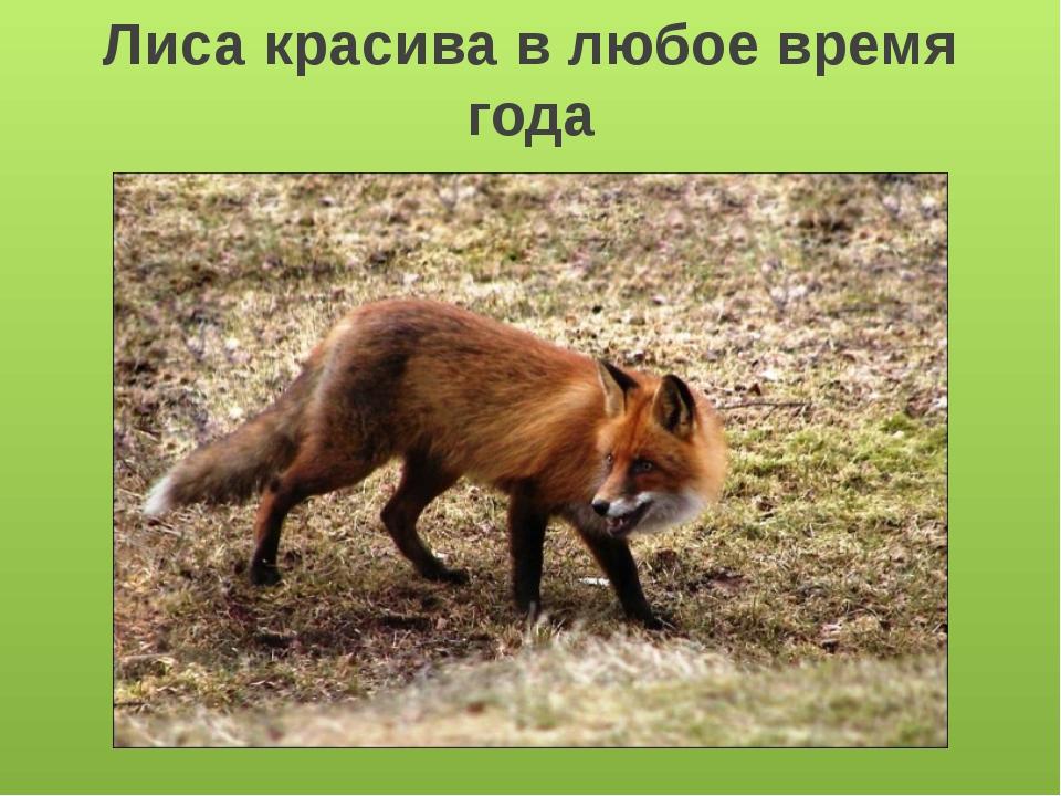 Лисица зимой