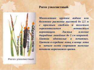 Рогоз узколистный. Многолетнее крупное водное или болотное растение высотой д