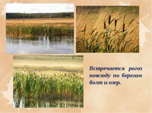 Встречается рогоз повсюду по берегам болт и озер.