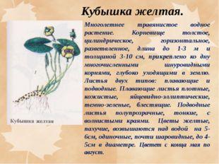 Кубышка желтая. Многолетнее травянистое водное растение. Корневище толстое, ц