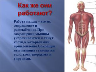 Работа мышц – это их сокращение и расслабление.При сокращении мышцы укорачива