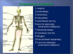 1-череп; 2-ключица; 3-лопатка; 4-грудина; 5-плечевая кость; 6-кости верхних к